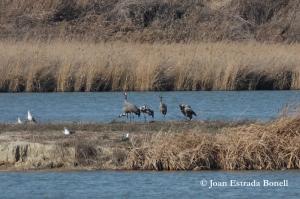 20130213_GRus grus, estany d'Ivars i Vila-sana, (c) Joan Estrada Bonell_005 copia