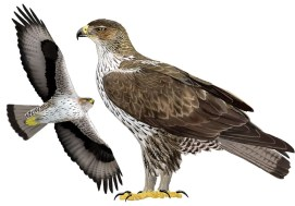 Aguila cuabarrada